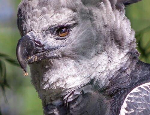 Águila Arpía un animal Mística y Majestuosa!