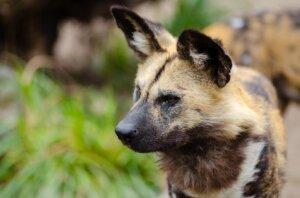 orejas-perro-hiena